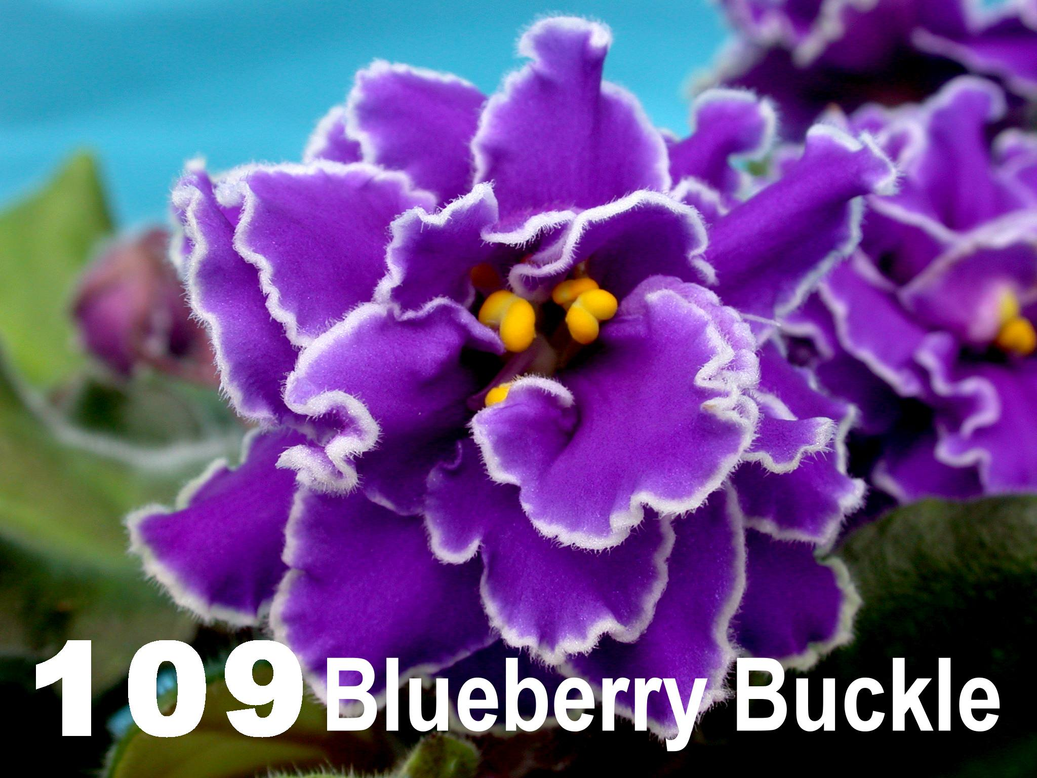 [109] Blueberry Buckle 109
