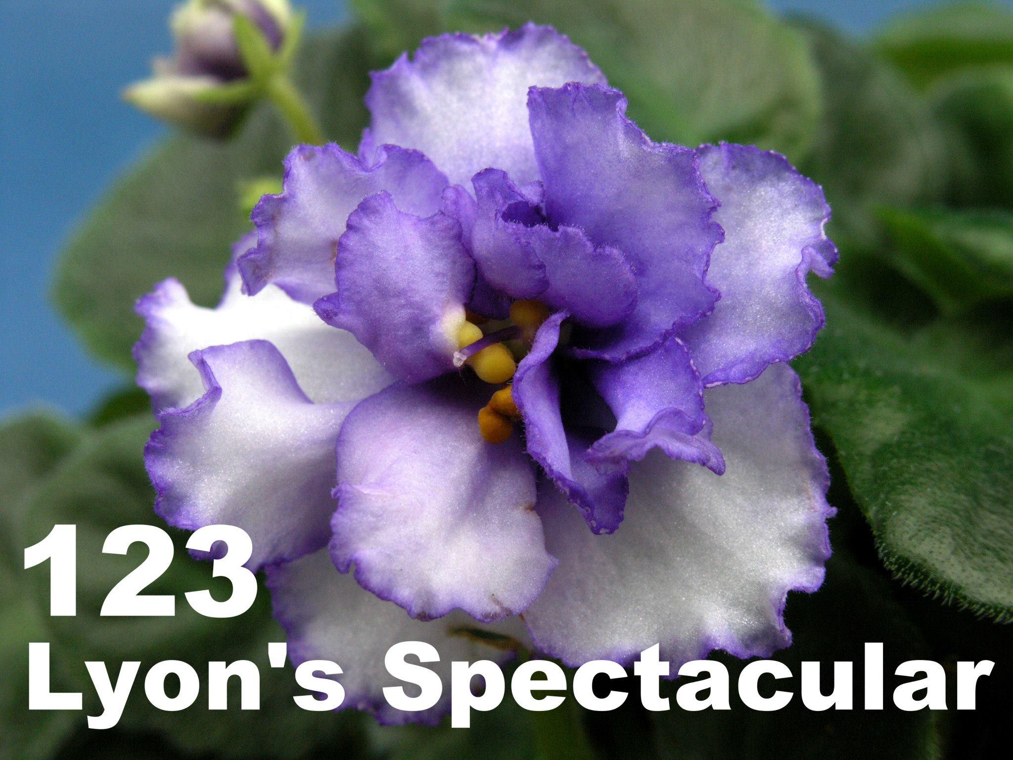 [123] Lyon's Spectacular 123