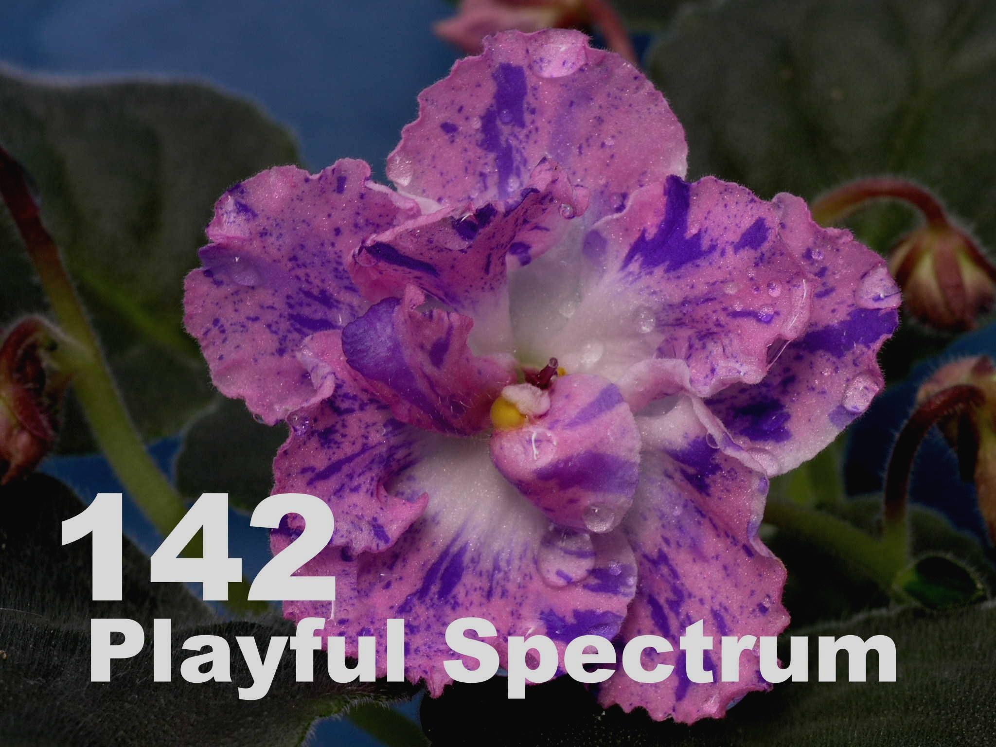 [142] Playful Spectrum 142