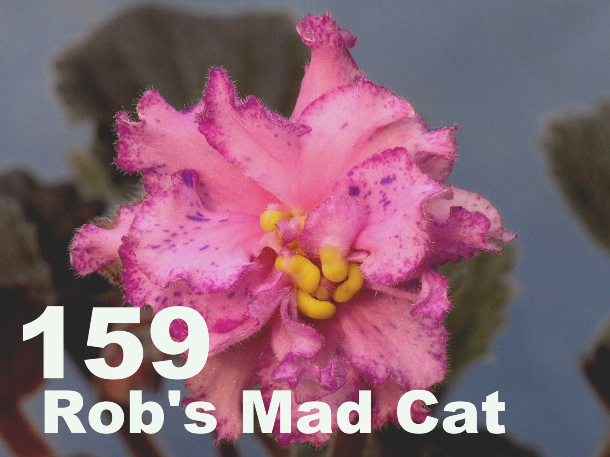 [159] Rob's Mad Cat 159