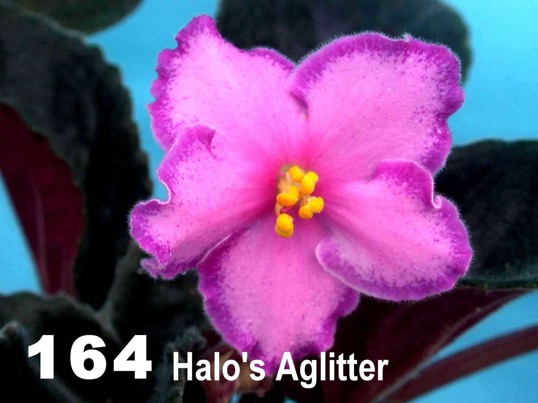 [164] Halo's Aglitter 164