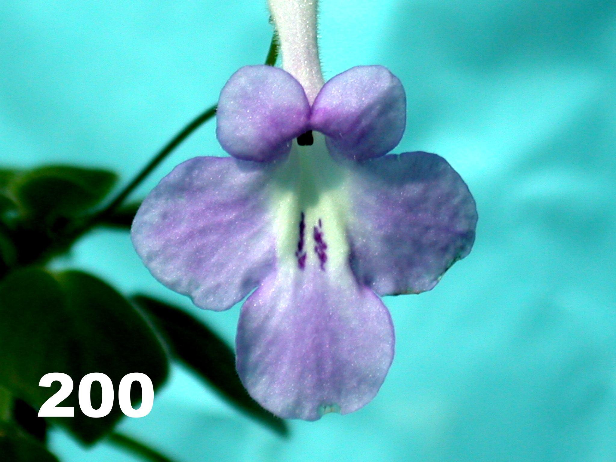 [200] Streptocarpus saxorum 200