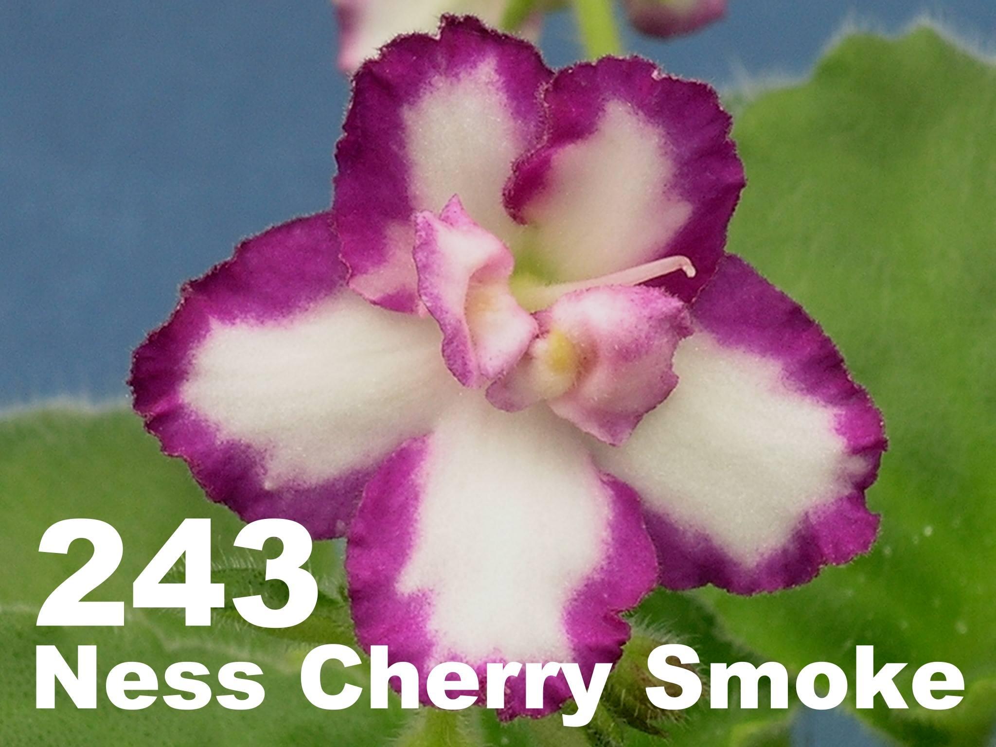 [243] Ness' Cherry Smoke 243