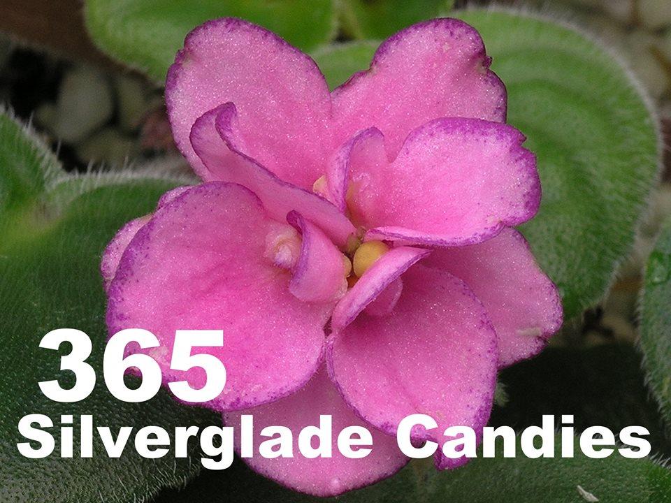 [365] Silverglade Candies 365