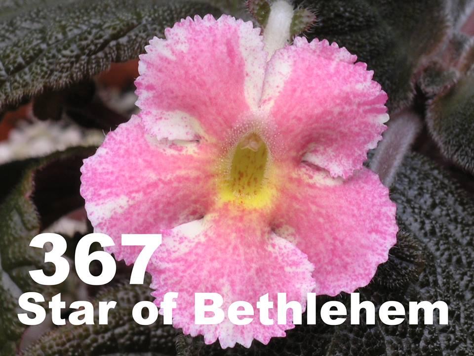[367] Episcia Star of Bethlehem 367
