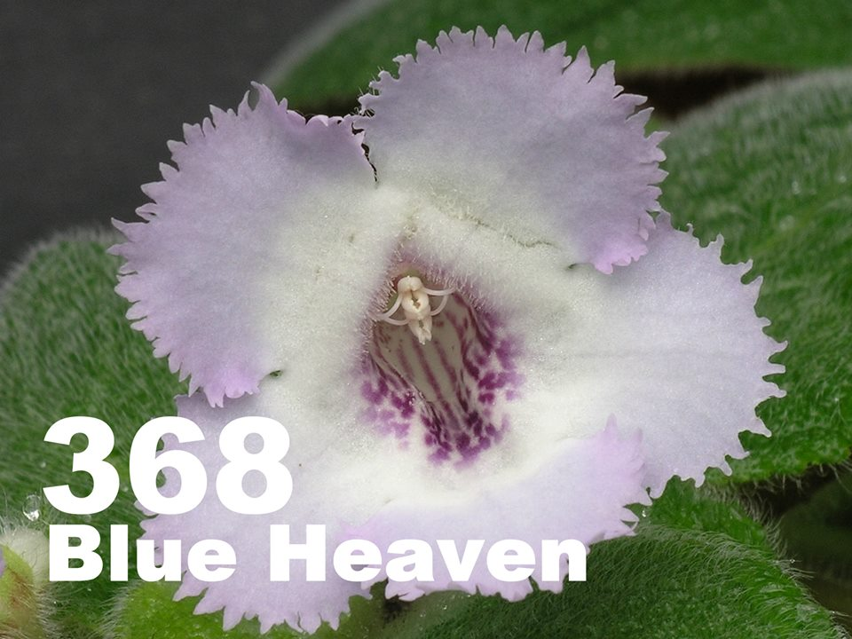 [368] Episcia Blue Heaven 368