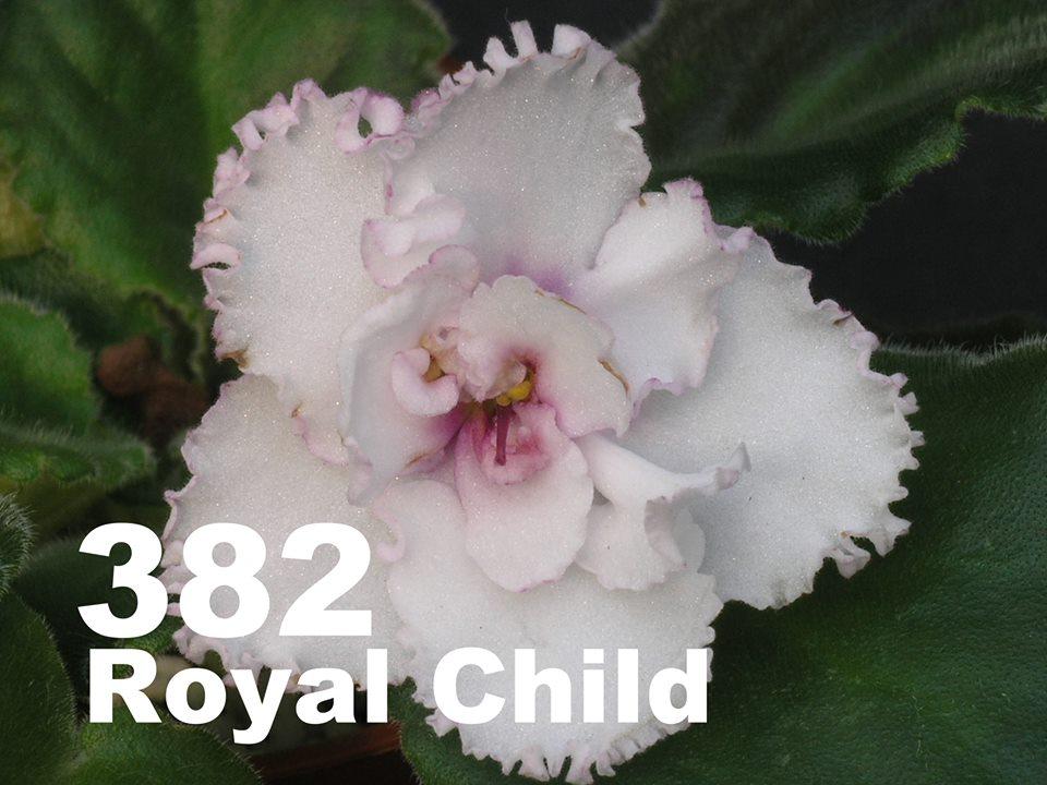 [382] Royal Child 382
