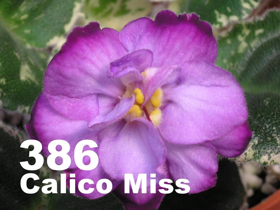 [386] Calico Miss 386
