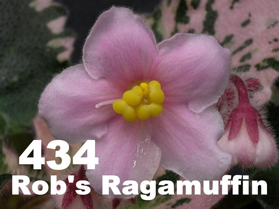[434] Rob's Ragamuffin 434