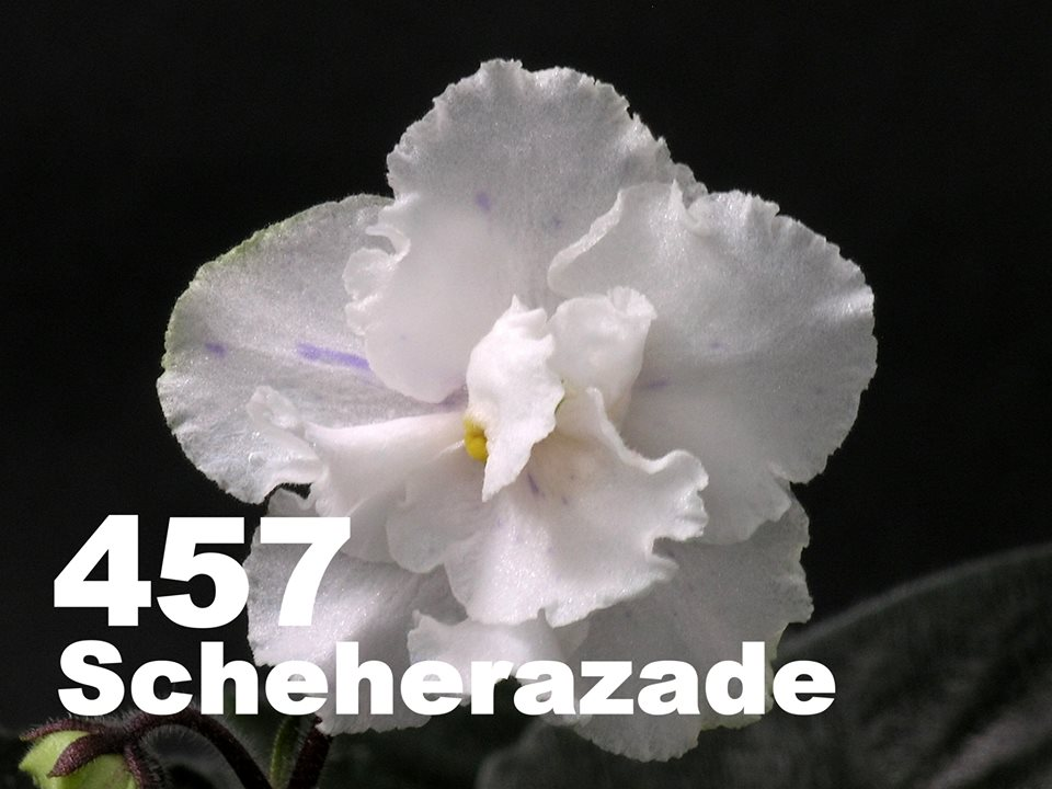 [457] Scheherazade 457