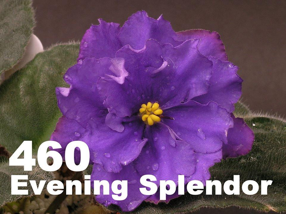 [460] Evening Splendor 460