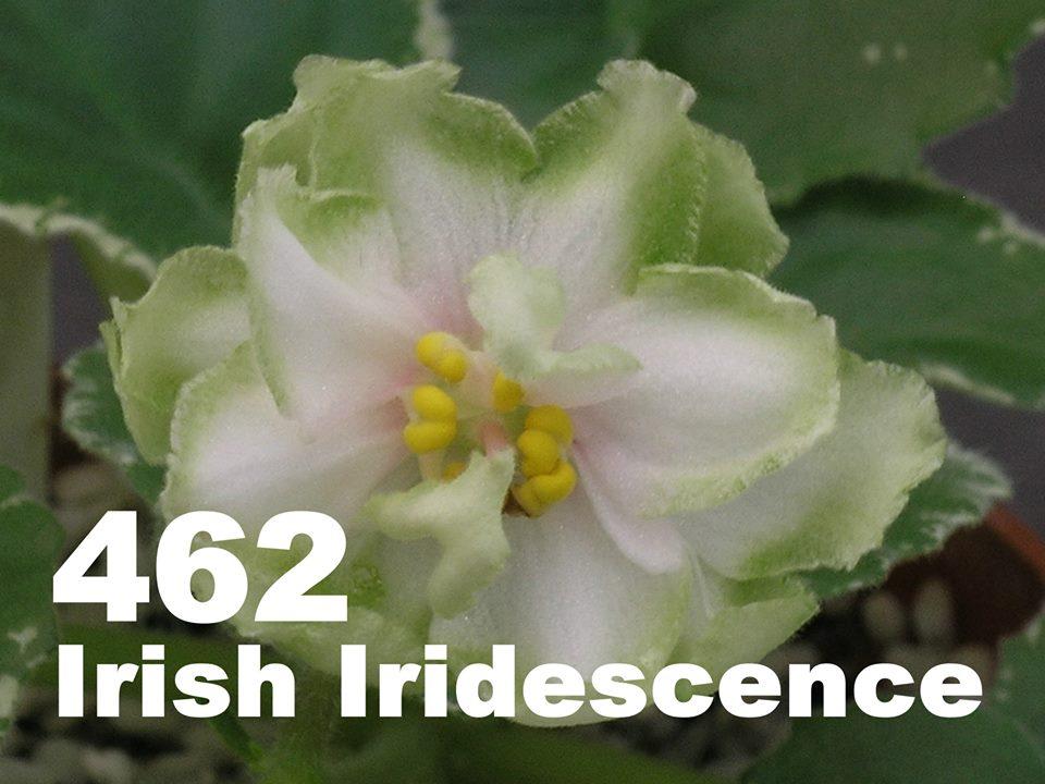 [462] Irish Iridescence 462