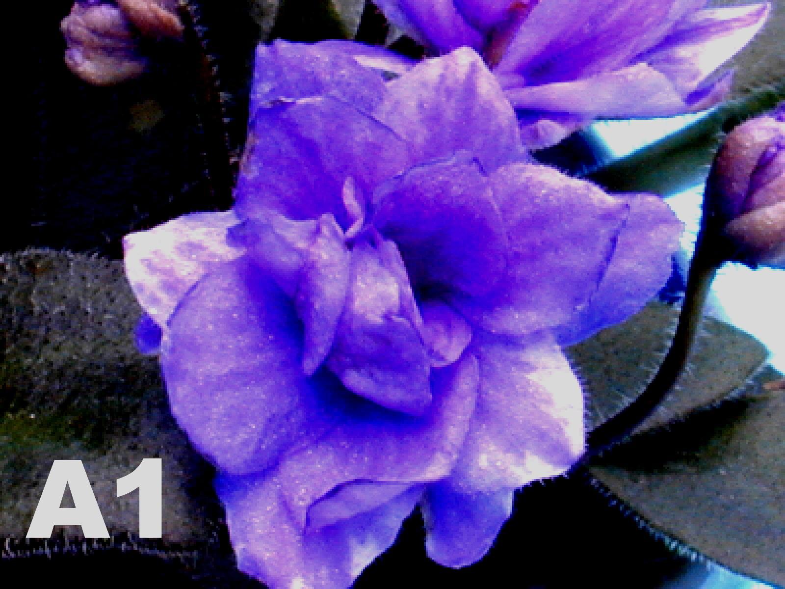 非洲紫羅蘭名錄 | African Violets Catalogue - A系列 A1