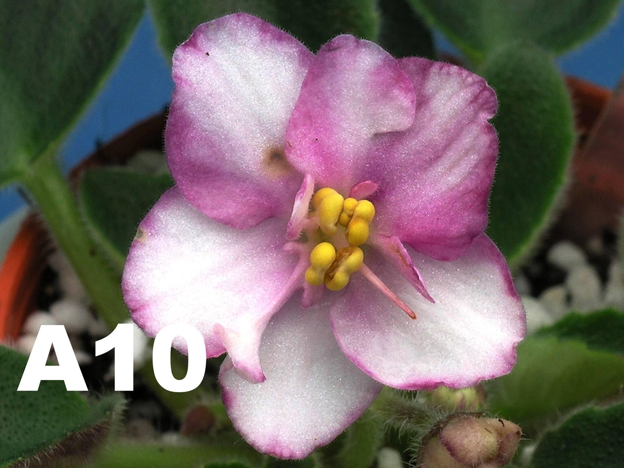 非洲紫羅蘭名錄 | African Violets Catalogue - A系列 A10