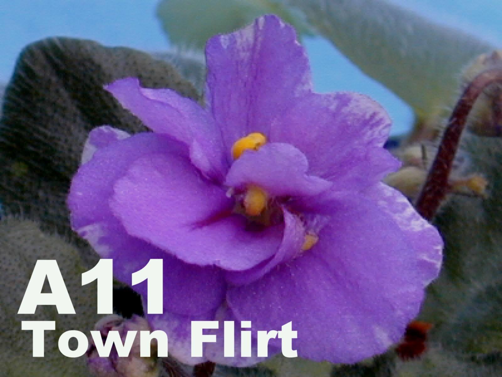非洲紫羅蘭名錄 | African Violets Catalogue - A系列 A11