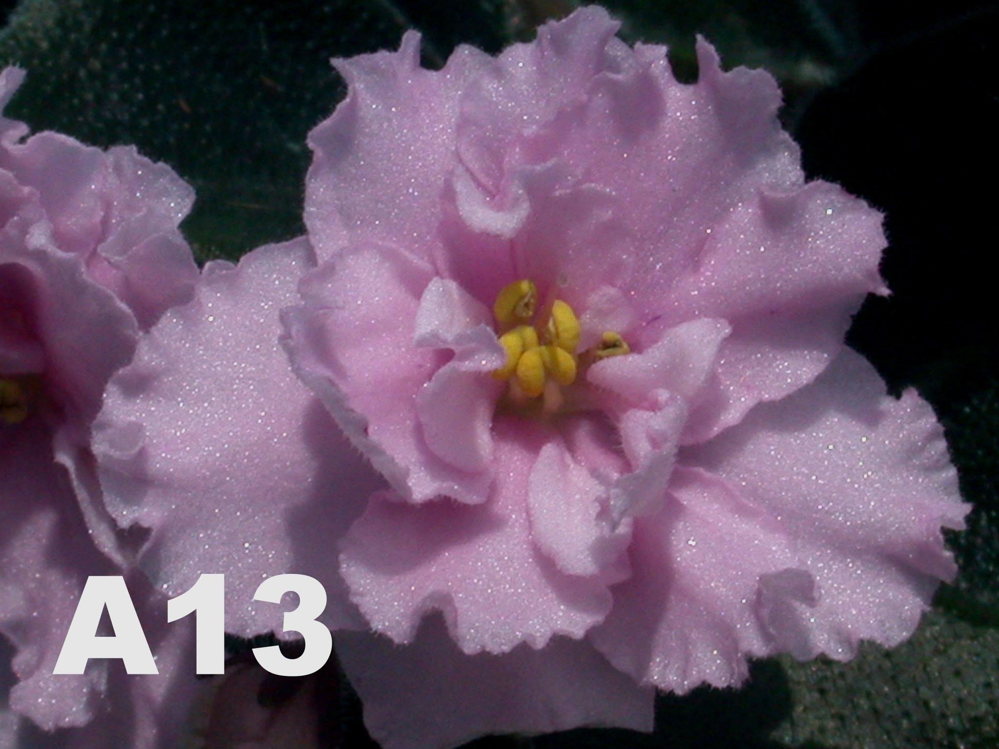 非洲紫羅蘭名錄 | African Violets Catalogue - A系列 A13