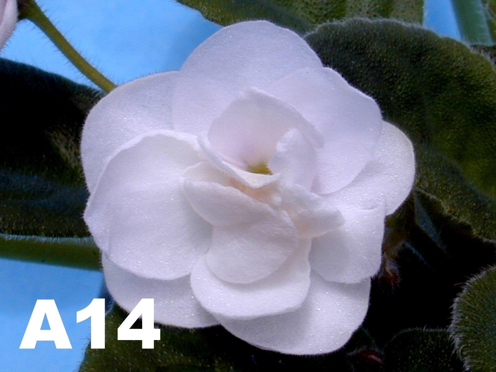 非洲紫羅蘭名錄 | African Violets Catalogue - A系列 A14