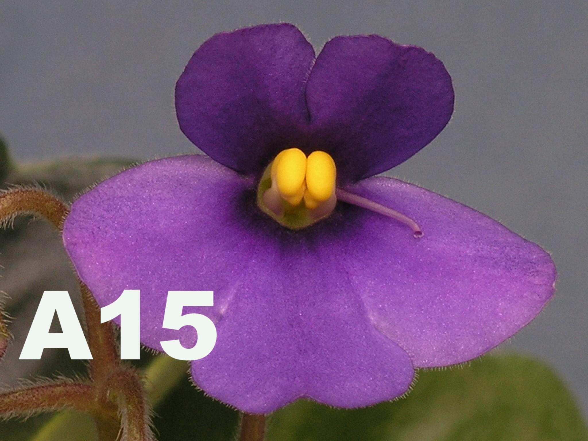 非洲紫羅蘭名錄 | African Violets Catalogue - A系列 A15