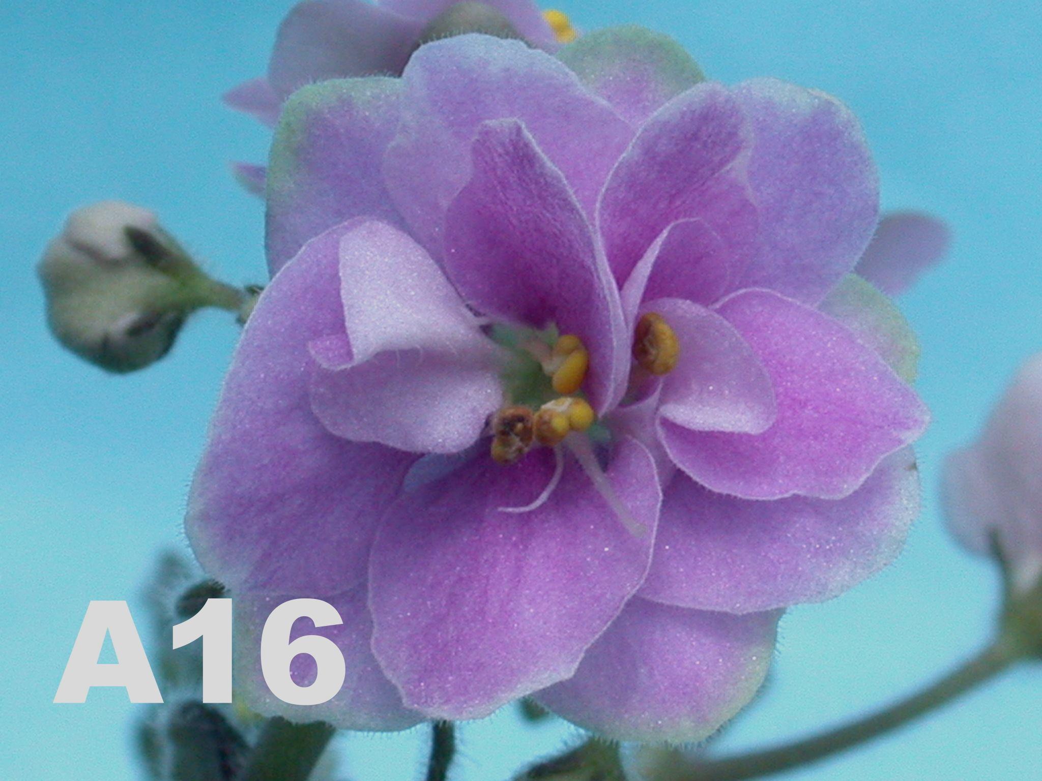 非洲紫羅蘭名錄 | African Violets Catalogue - A系列 A16