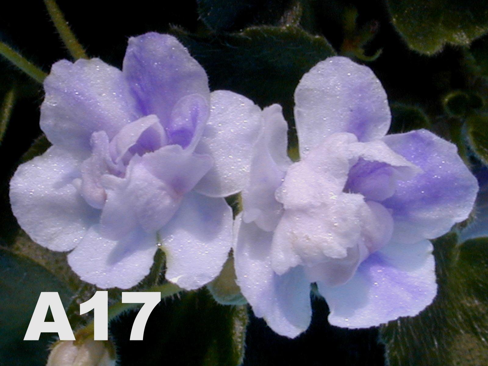 非洲紫羅蘭名錄 | African Violets Catalogue - A系列 A17