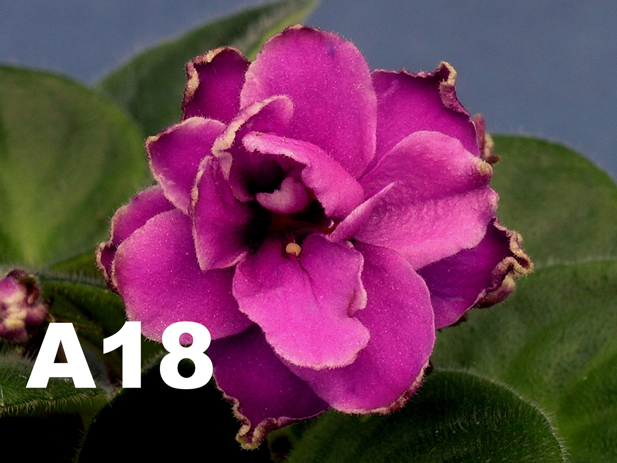 非洲紫羅蘭名錄 | African Violets Catalogue - A系列 A18