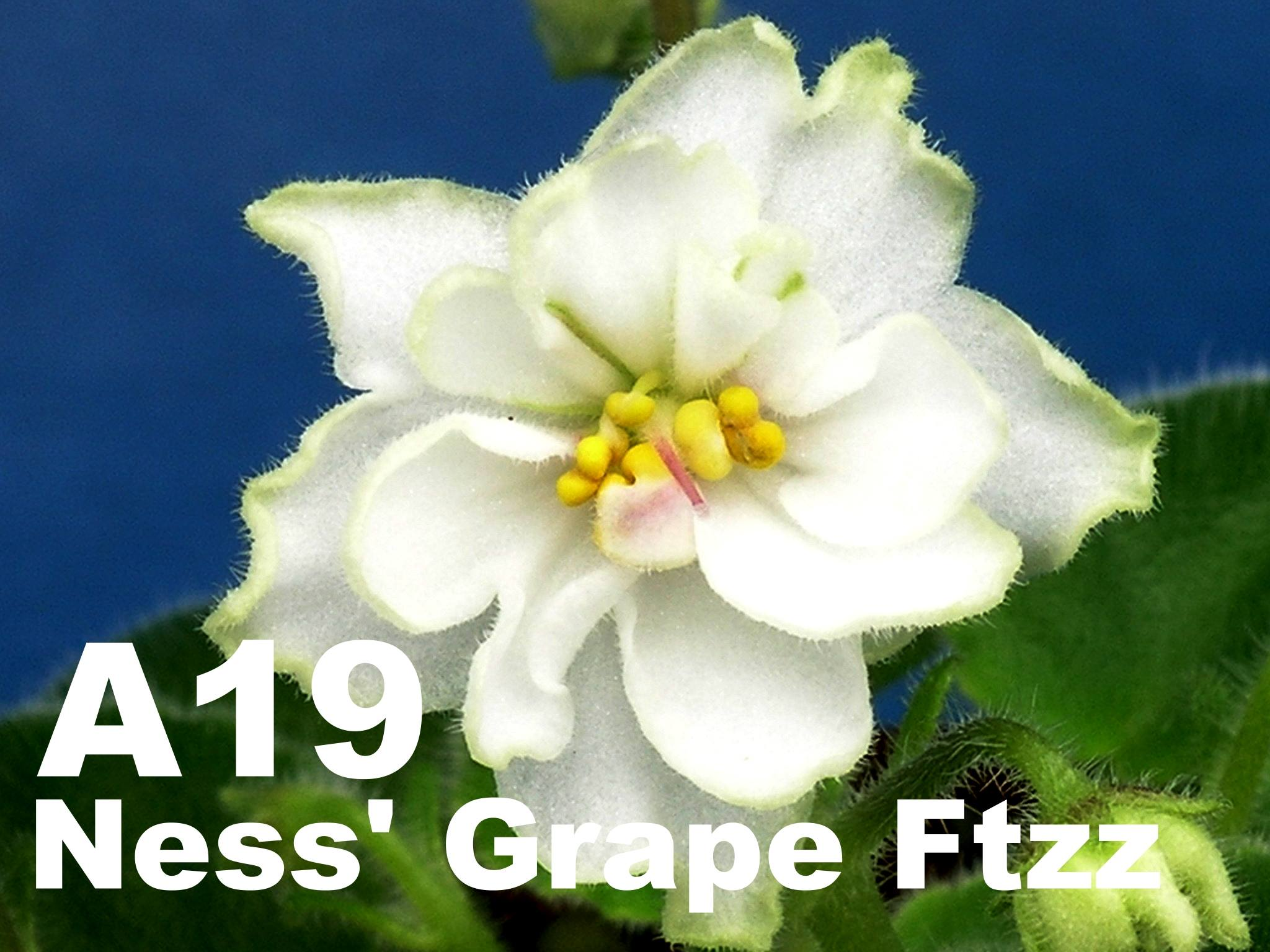 [A19] Ness' Grape Fizz A19