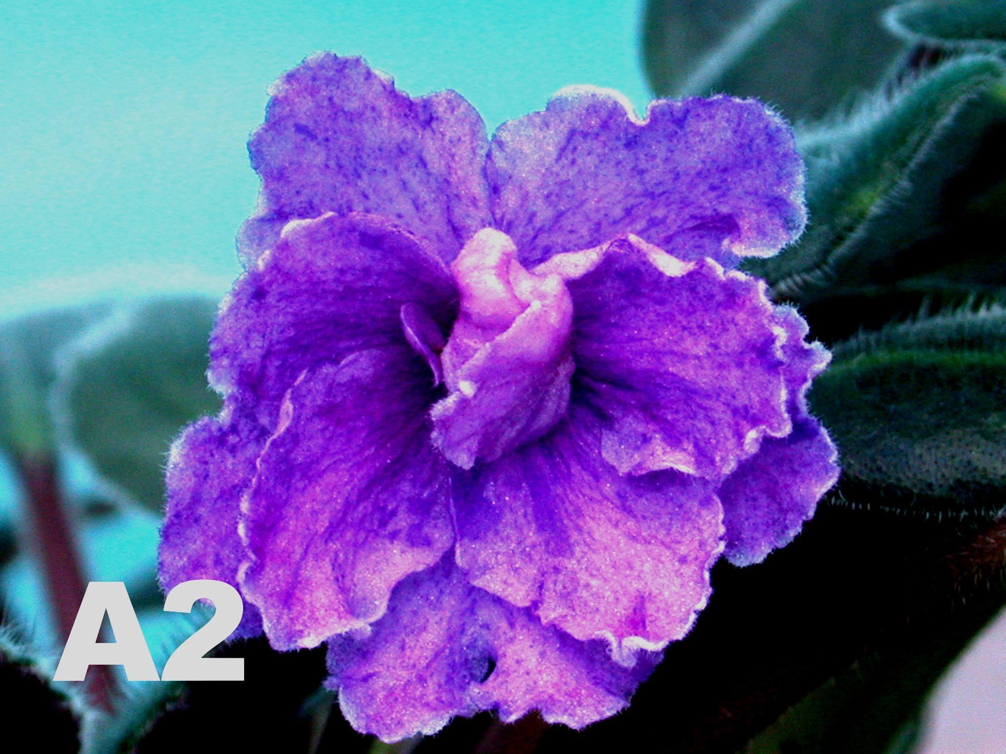 非洲紫羅蘭名錄 | African Violets Catalogue - A系列 A2