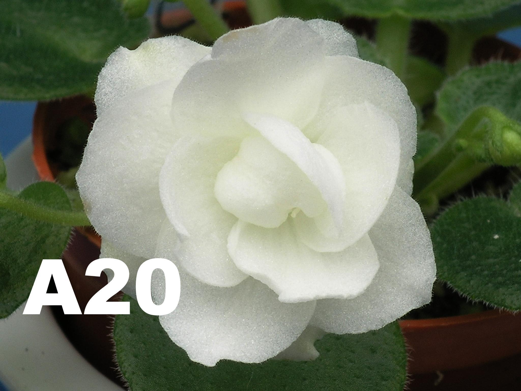 非洲紫羅蘭名錄 | African Violets Catalogue - A系列 A20