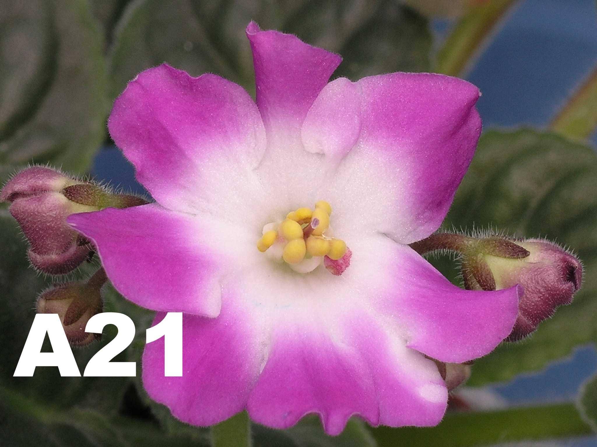 非洲紫羅蘭名錄 | African Violets Catalogue - A系列 A21