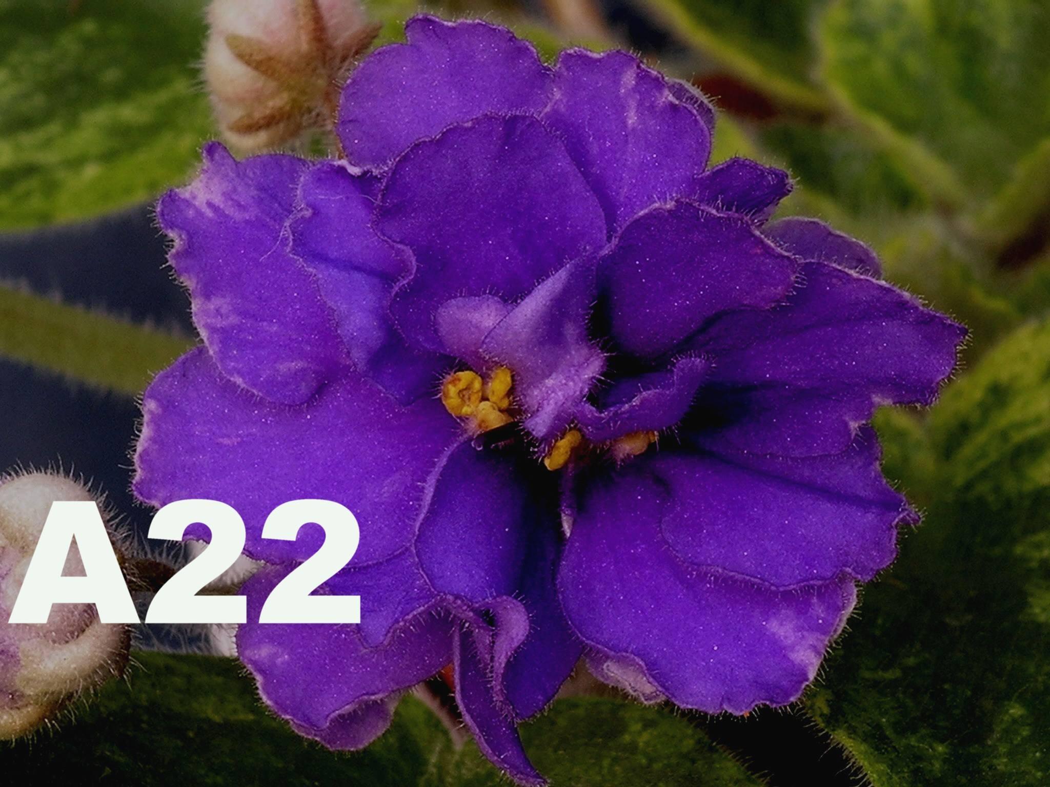 非洲紫羅蘭名錄 | African Violets Catalogue - A系列 A22