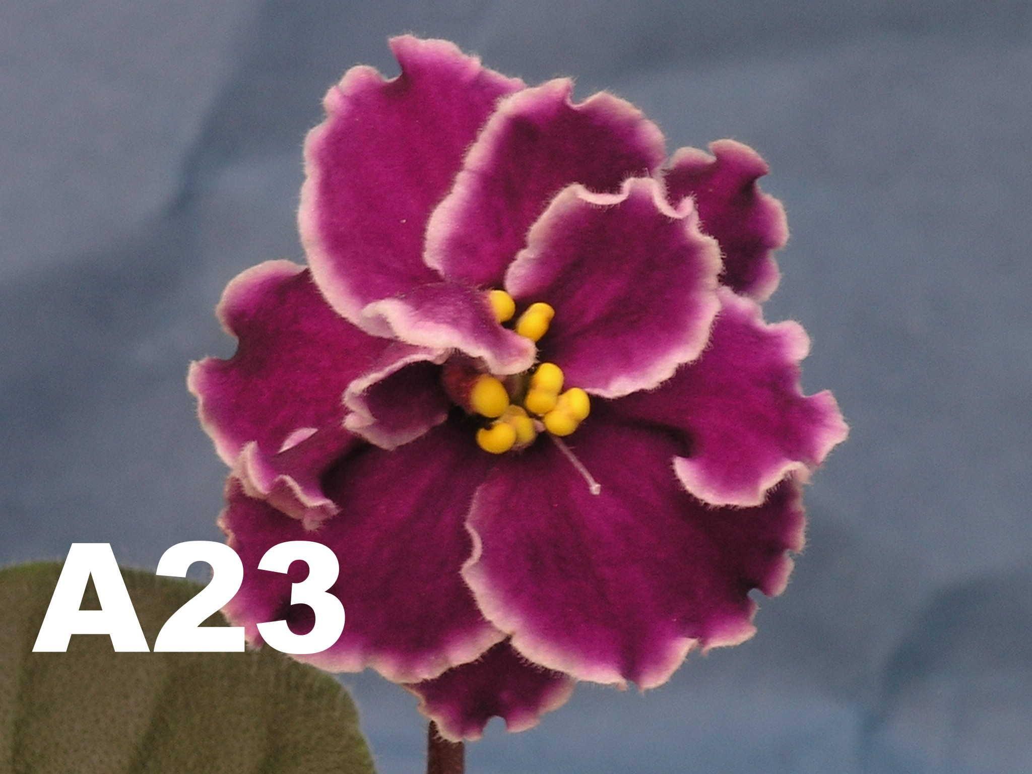 非洲紫羅蘭名錄 | African Violets Catalogue - A系列 A23