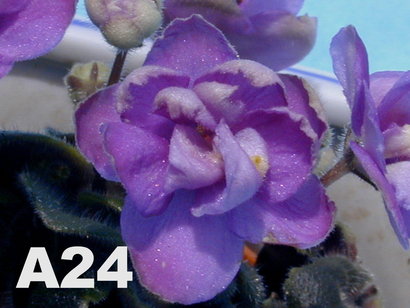 非洲紫羅蘭名錄 | African Violets Catalogue - A系列 A24