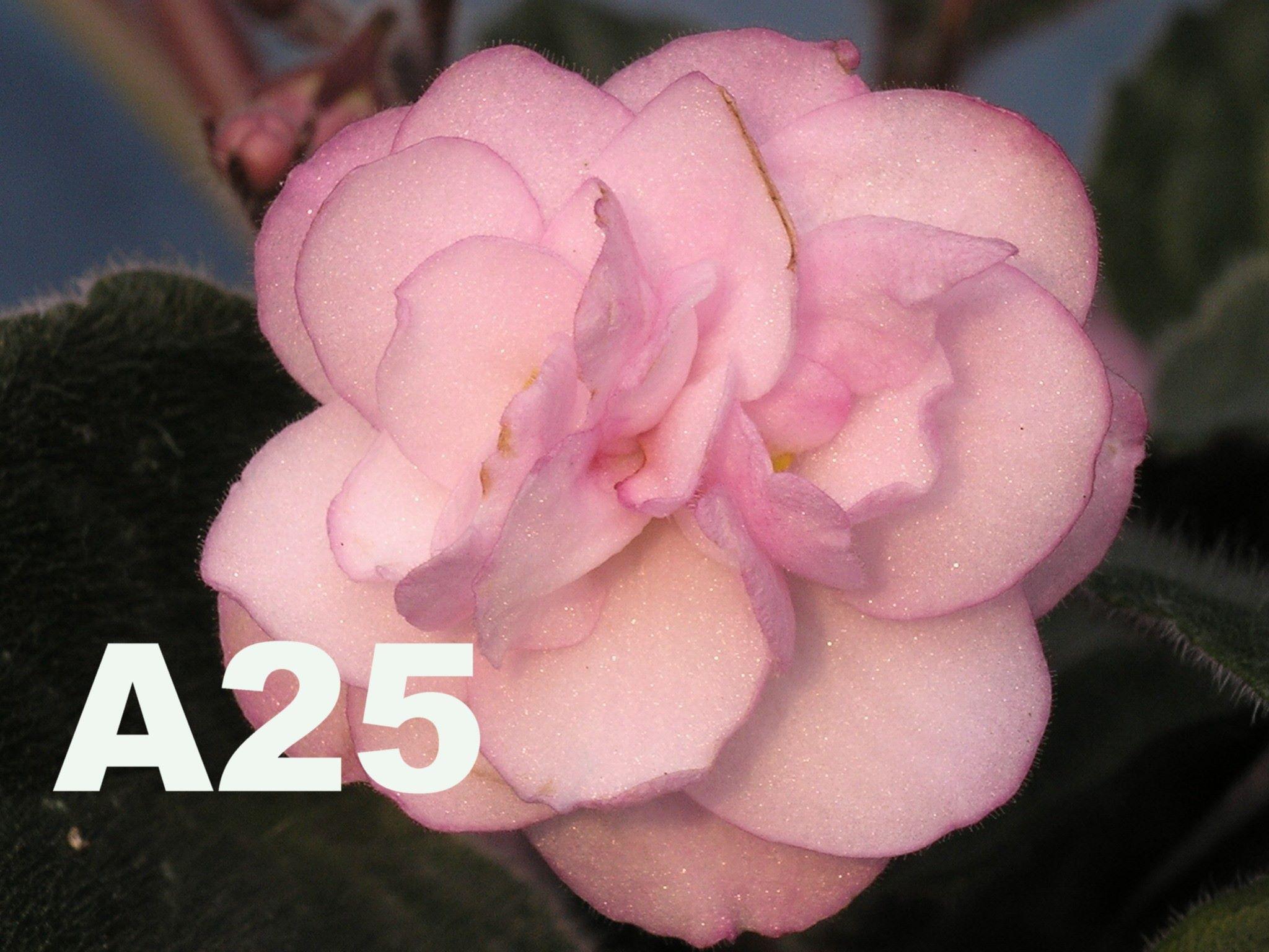 非洲紫羅蘭名錄 | African Violets Catalogue - A系列 A25