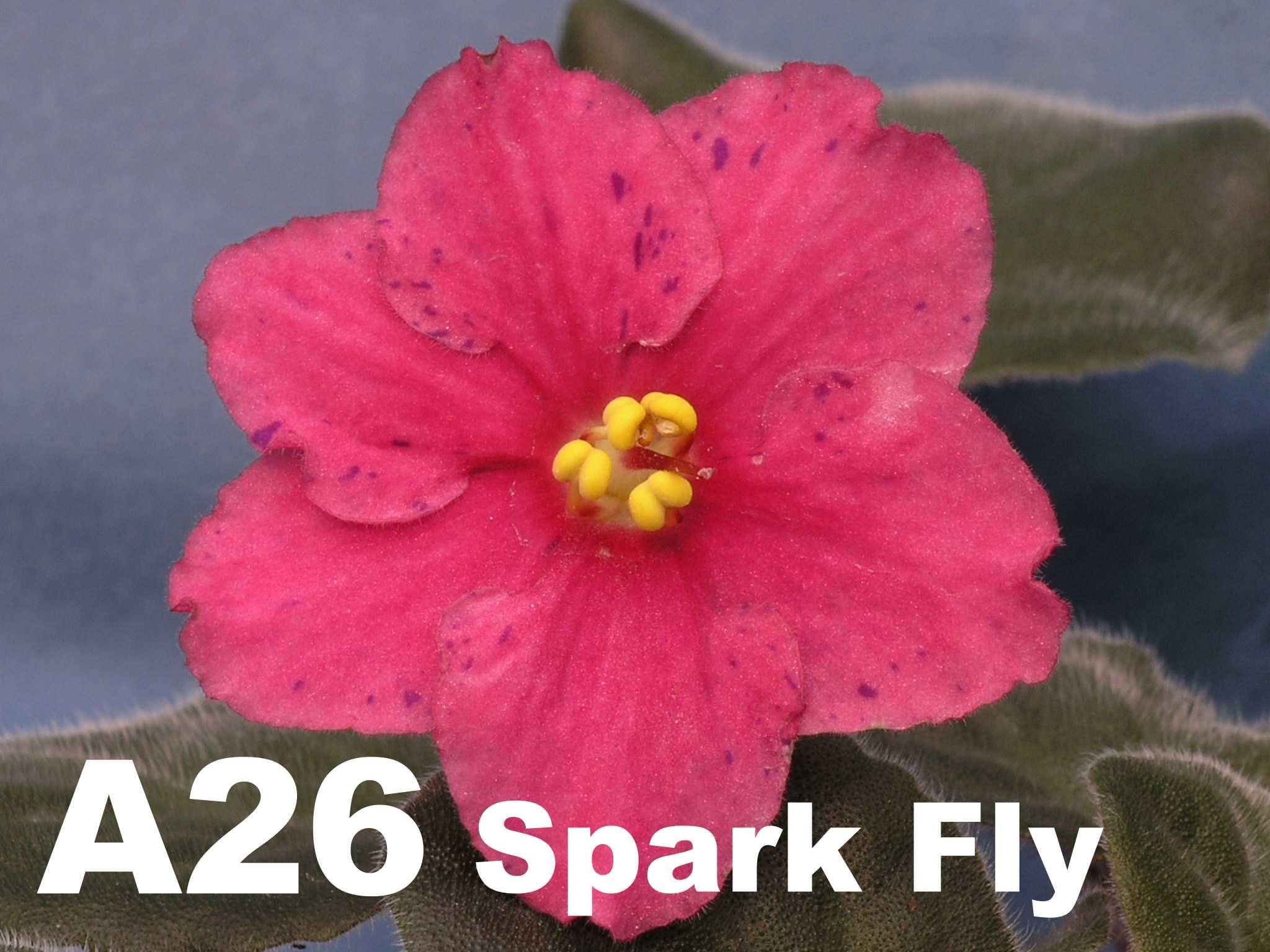非洲紫羅蘭名錄 | African Violets Catalogue - A系列 A26