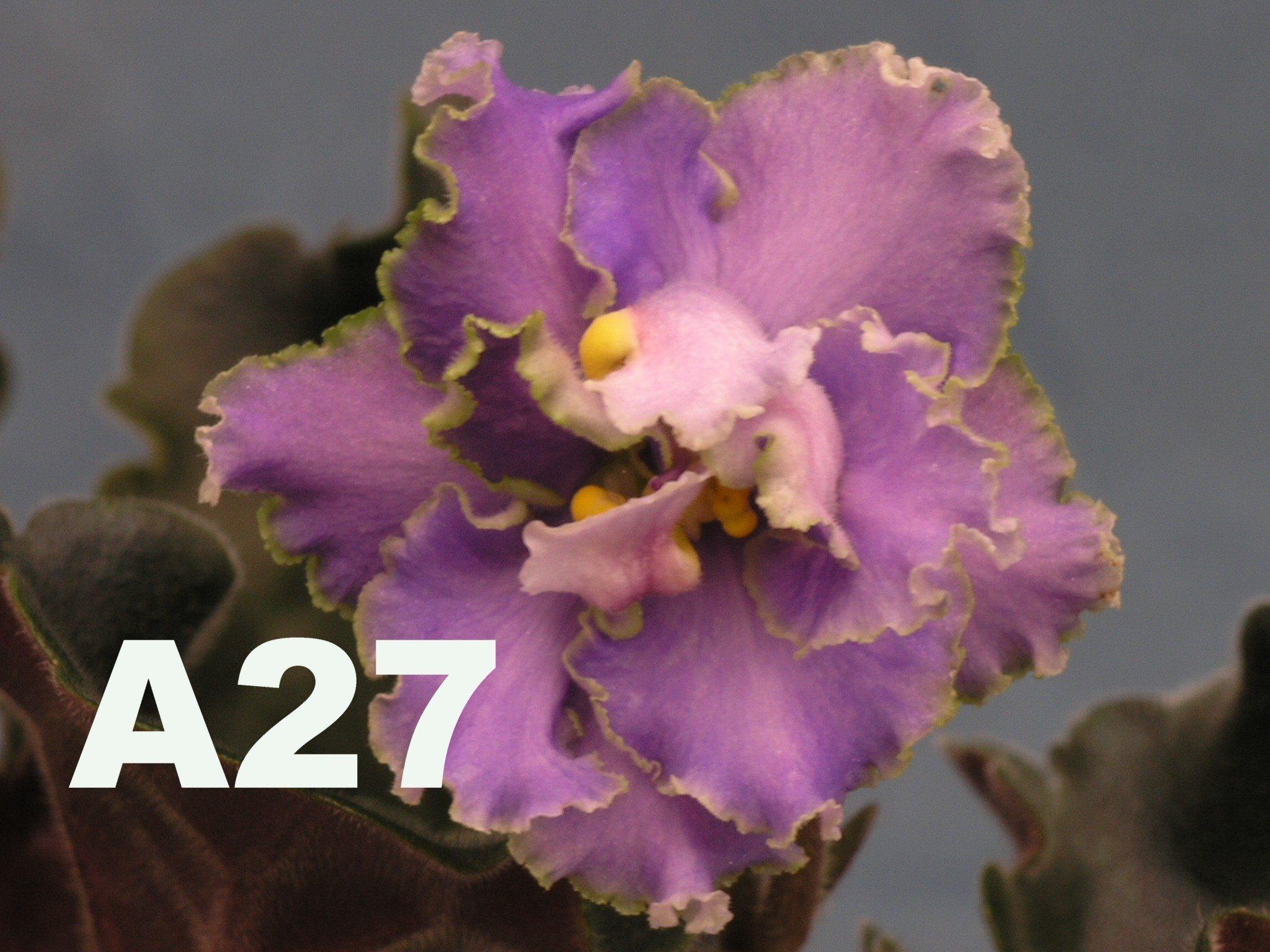 非洲紫羅蘭名錄 | African Violets Catalogue - A系列 A27