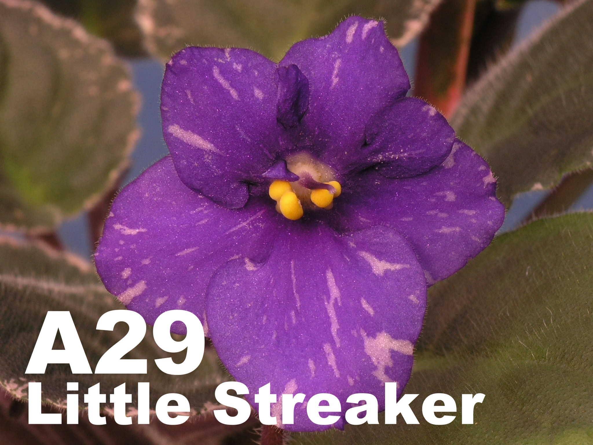 [A29] Little Streaker A29