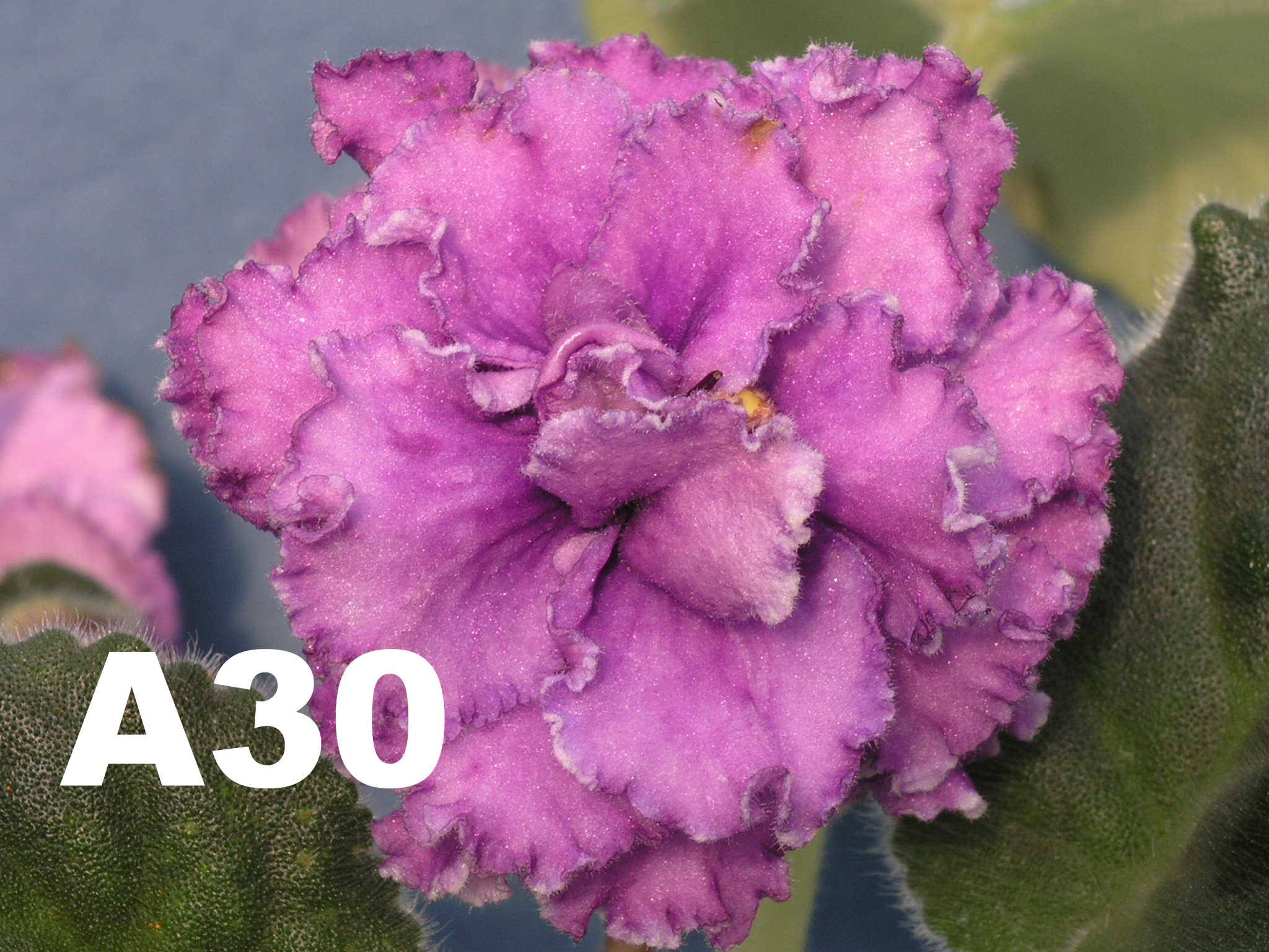 非洲紫羅蘭名錄 | African Violets Catalogue - A系列 A30