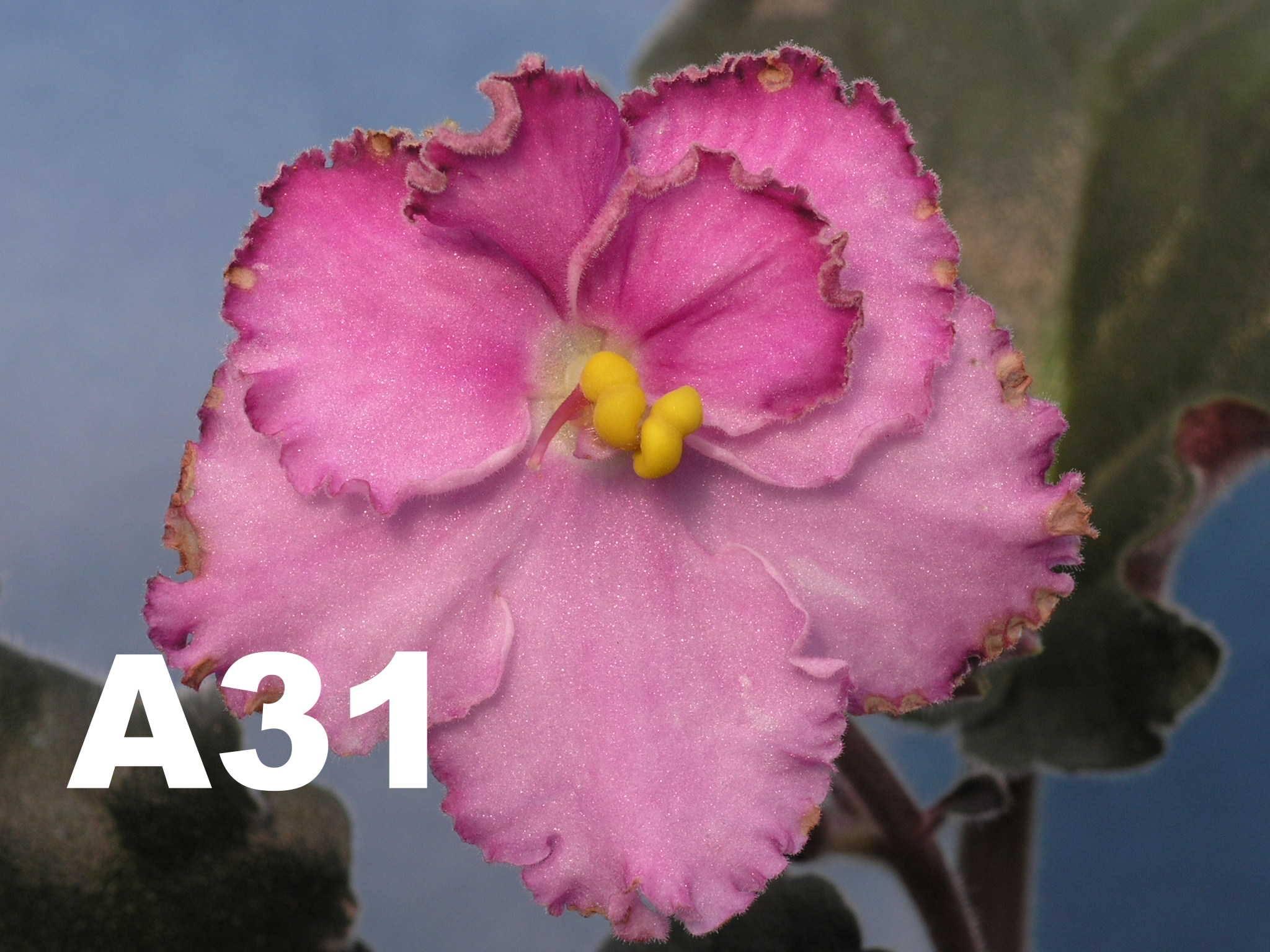 非洲紫羅蘭名錄 | African Violets Catalogue - A系列 A31