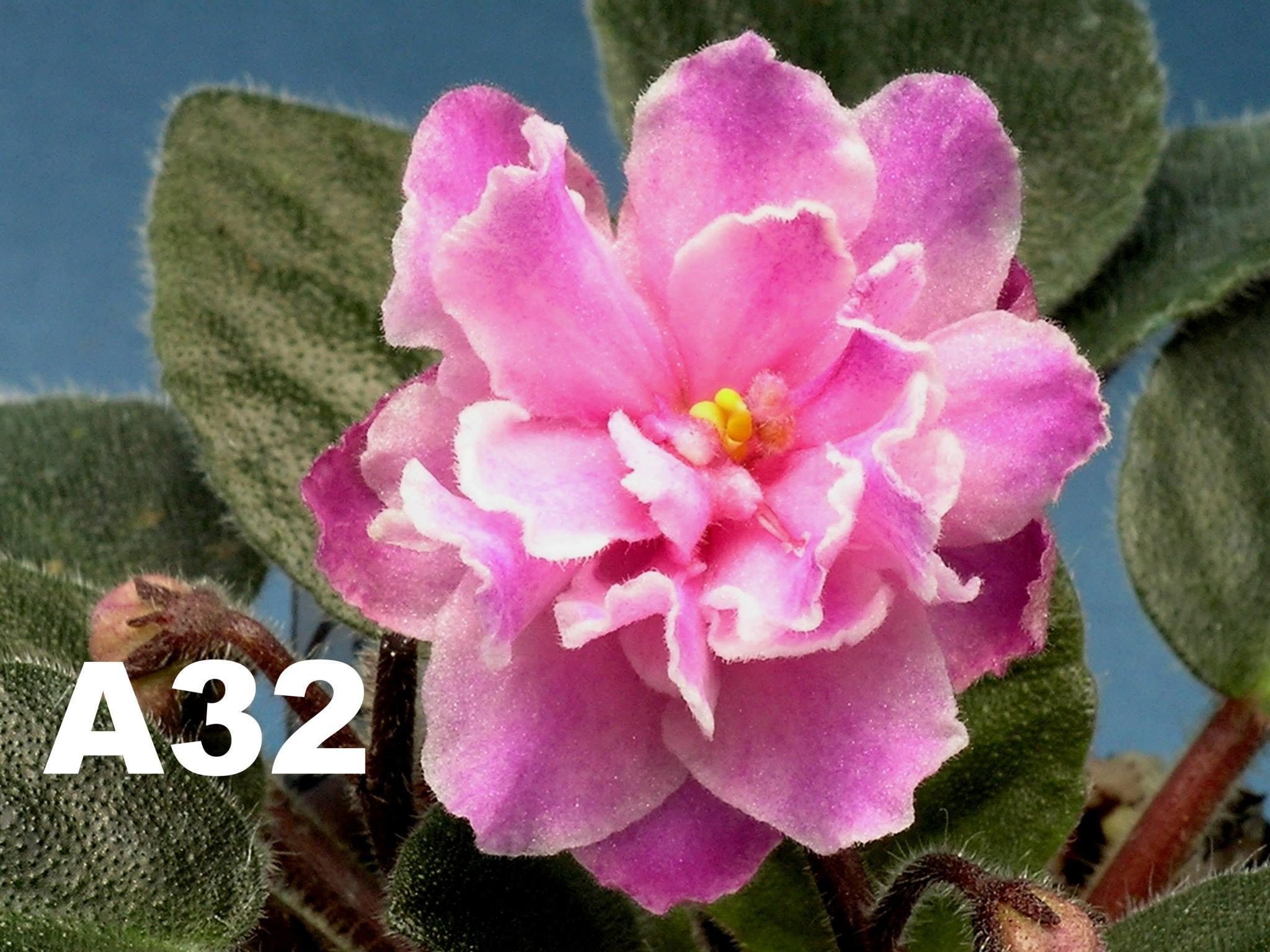 非洲紫羅蘭名錄 | African Violets Catalogue - A系列 A32