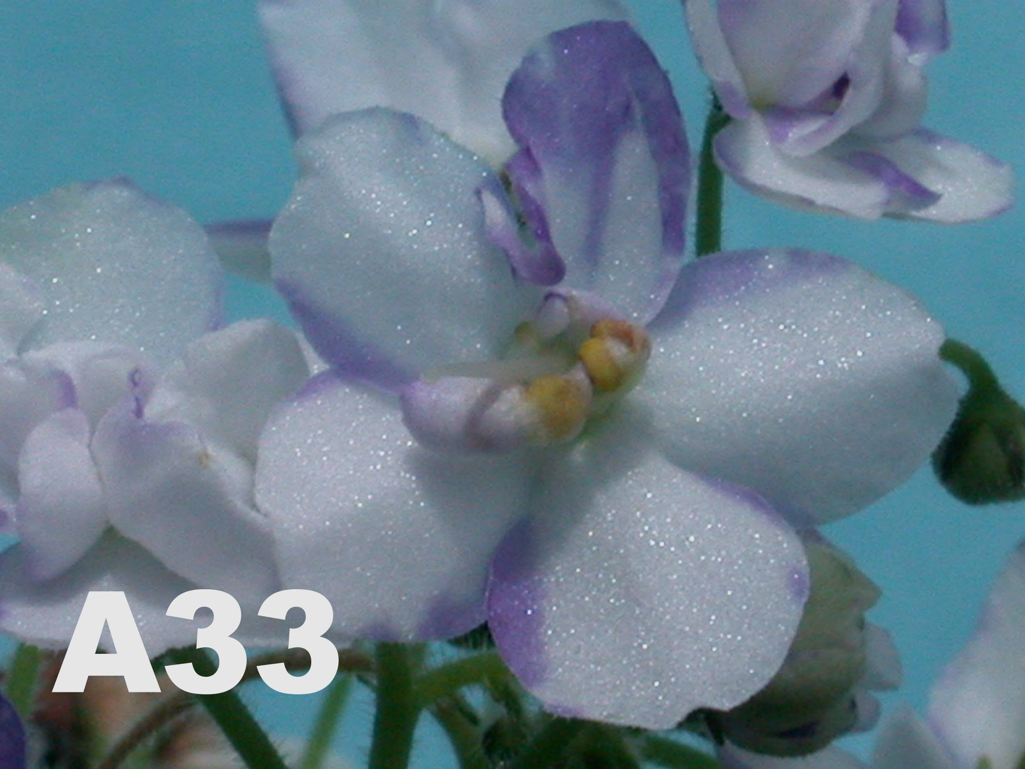 非洲紫羅蘭名錄 | African Violets Catalogue - A系列 A33