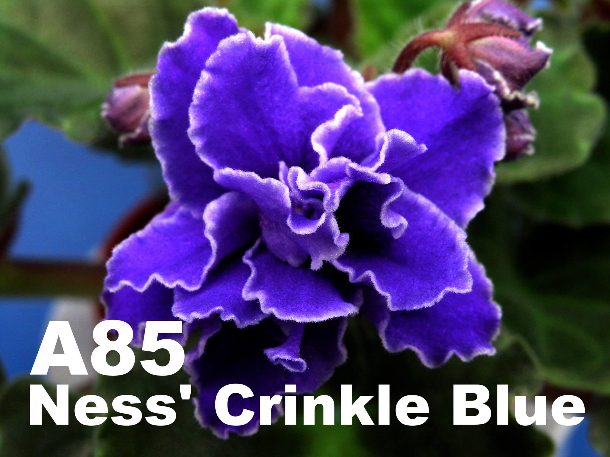 [A85] Ness' Crinkle Blue A85
