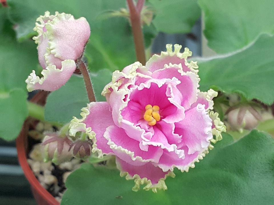 非洲紫羅蘭名錄 | African Violets Catalogue - B系列 B11