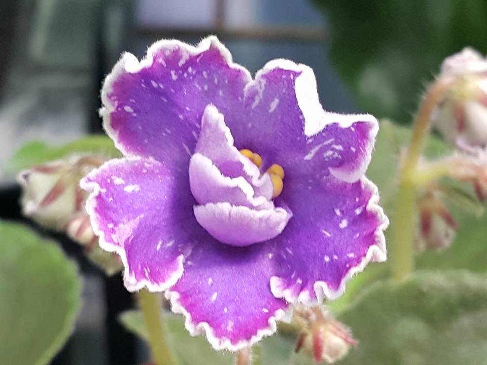 非洲紫羅蘭名錄 | African Violets Catalogue - B系列 B18