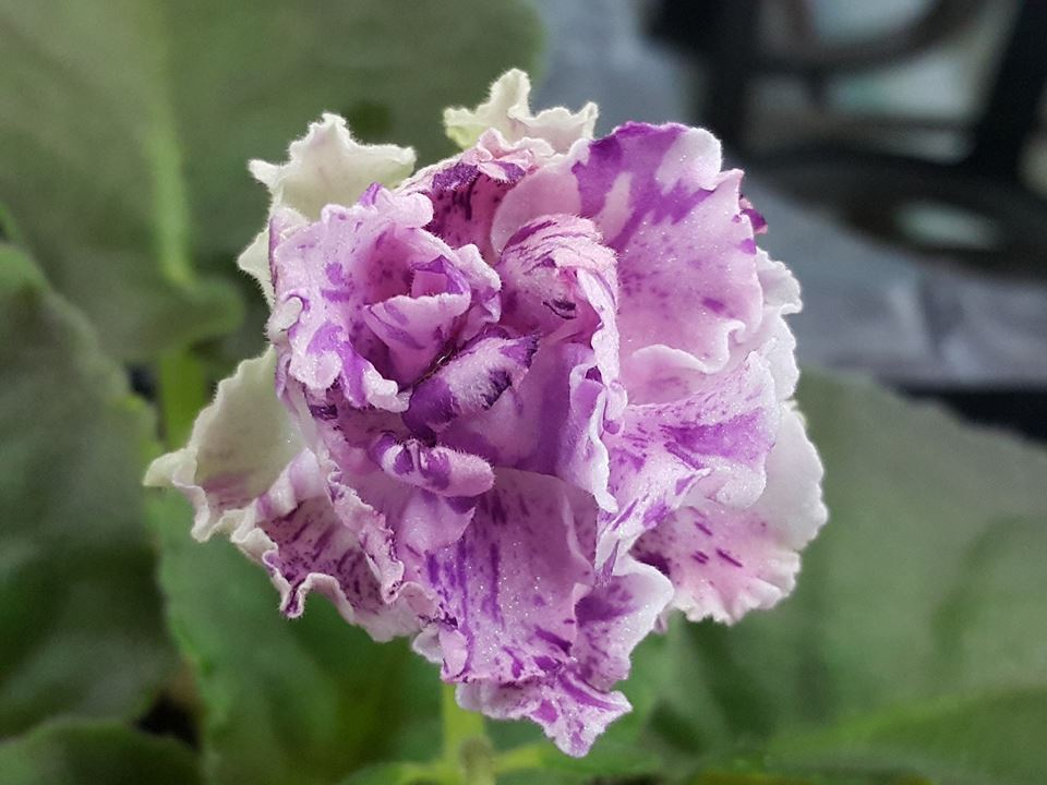 非洲紫羅蘭名錄 | African Violets Catalogue - B系列 B2