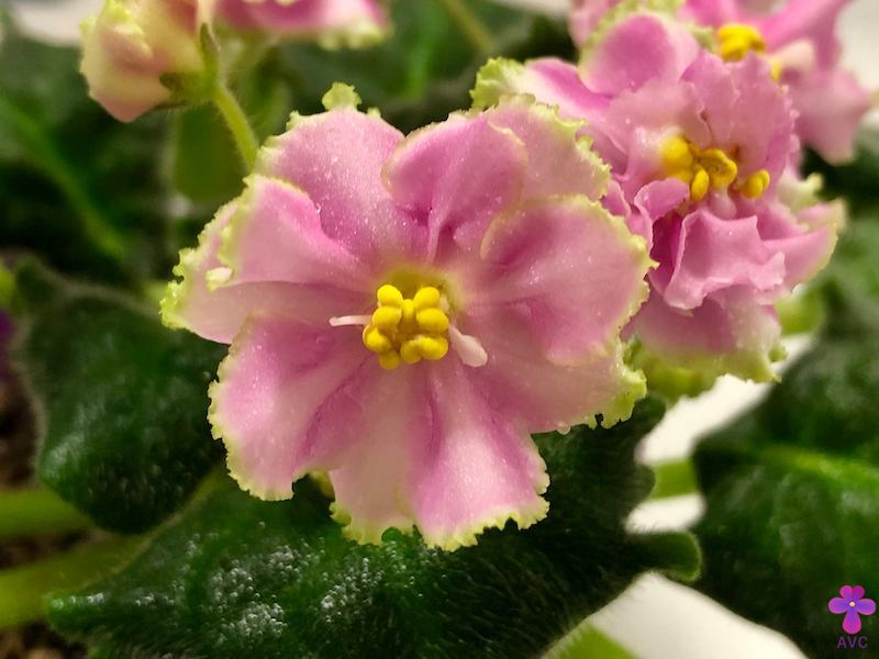 非洲紫羅蘭名錄 | African Violets Catalogue - B系列 B22