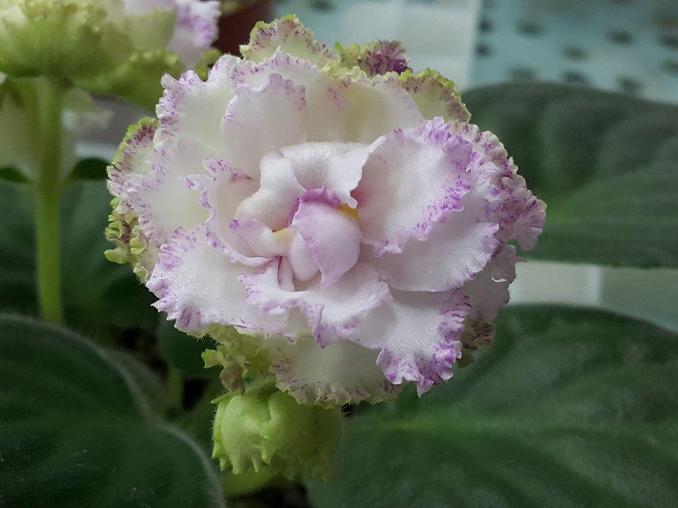 非洲紫羅蘭名錄 | African Violets Catalogue - B系列 B32