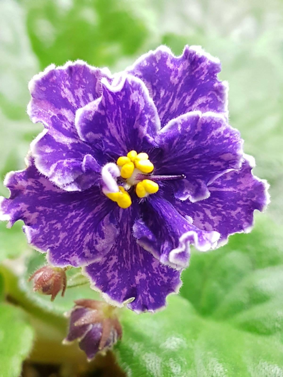 非洲紫羅蘭名錄 | African Violets Catalogue - B系列 B35