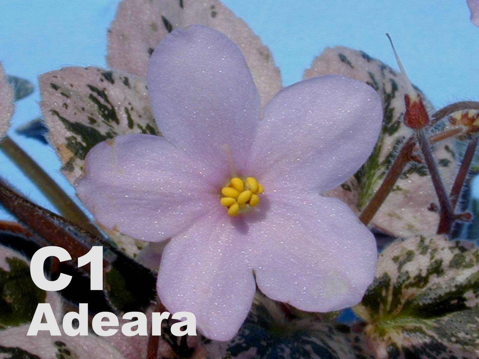 非洲紫羅蘭名錄 | African Violets Catalogue - C系列 C1