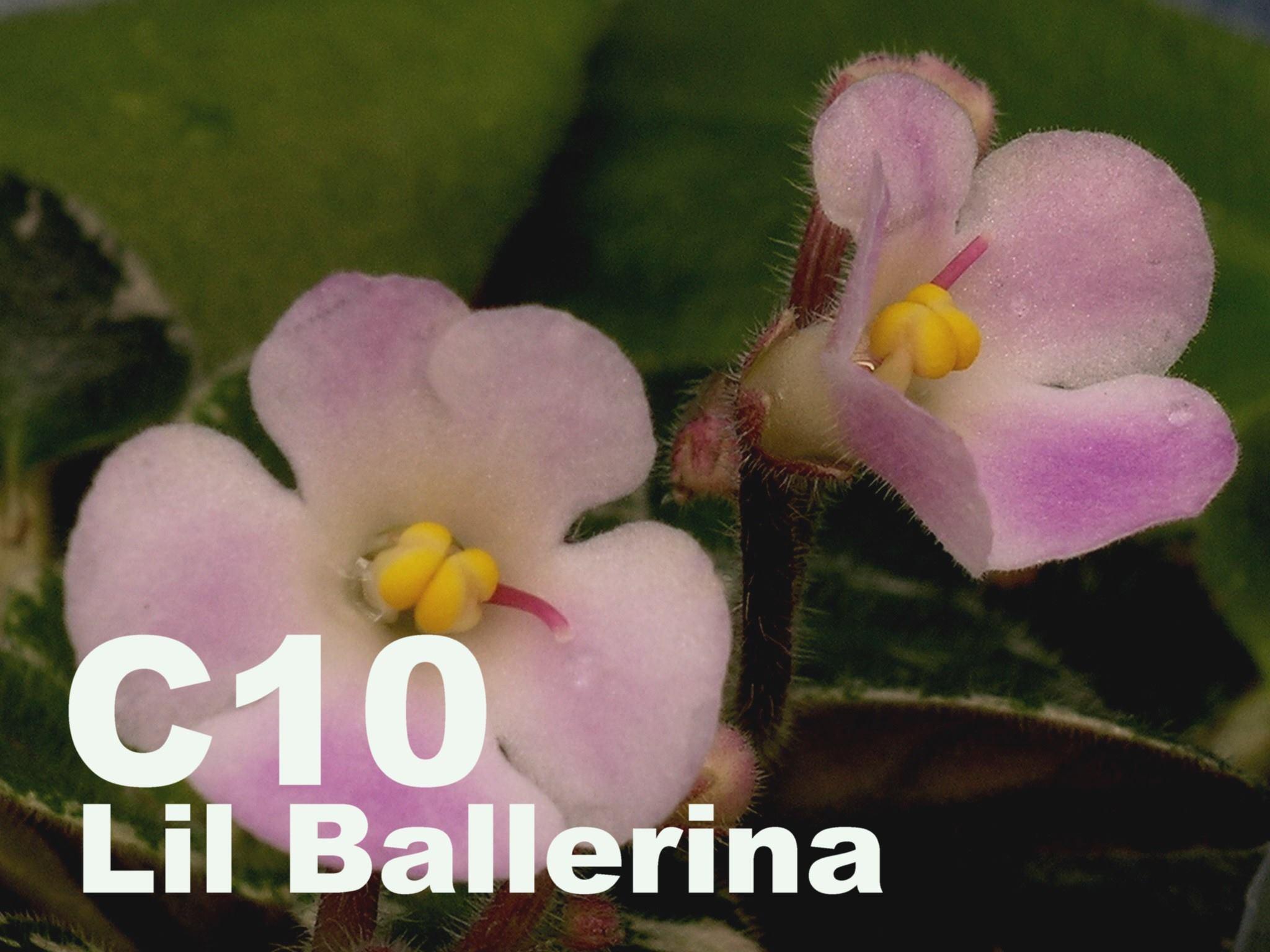 非洲紫羅蘭名錄 | African Violets Catalogue - C系列 C10