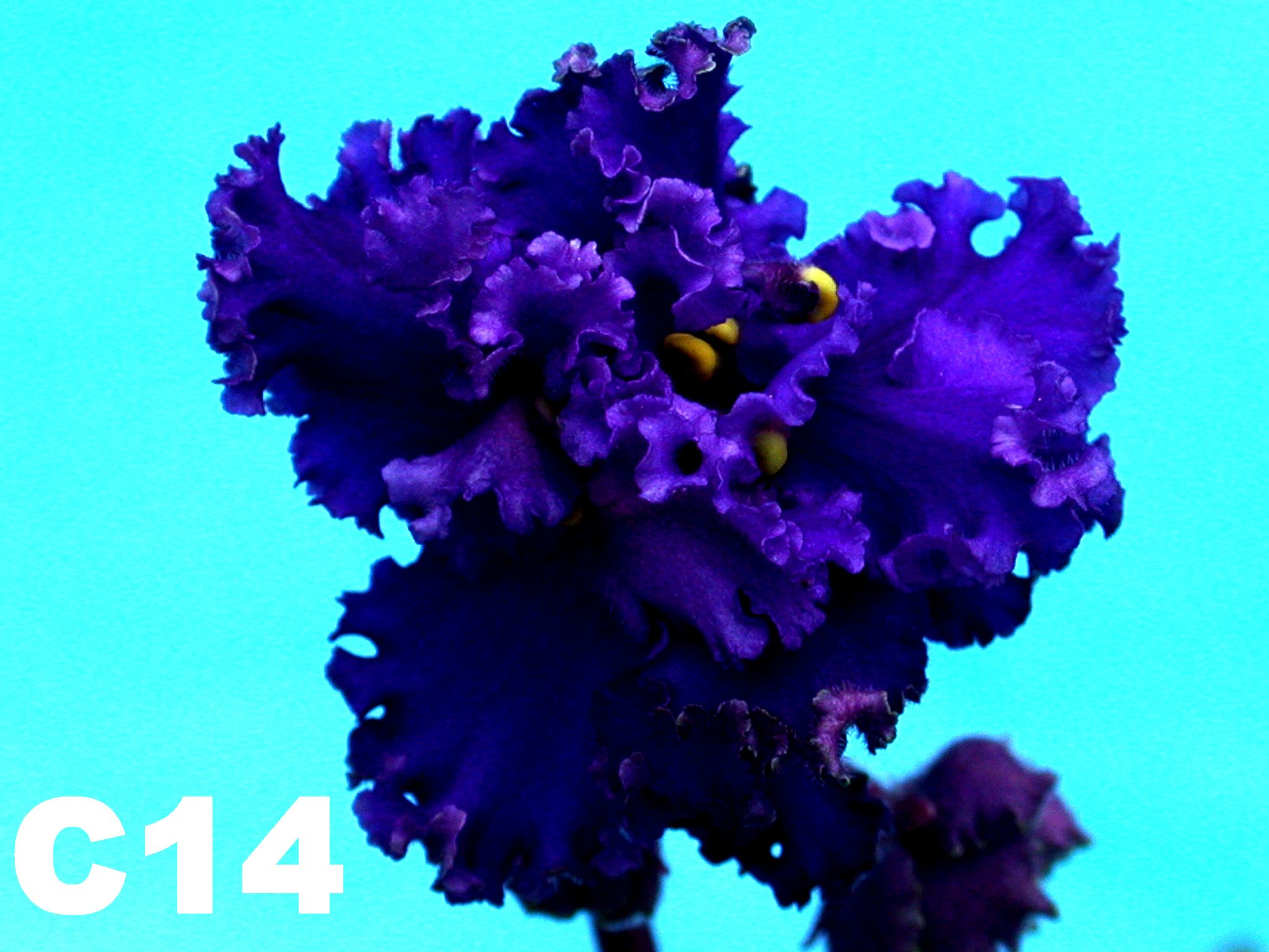 非洲紫羅蘭名錄 | African Violets Catalogue - C系列 C14